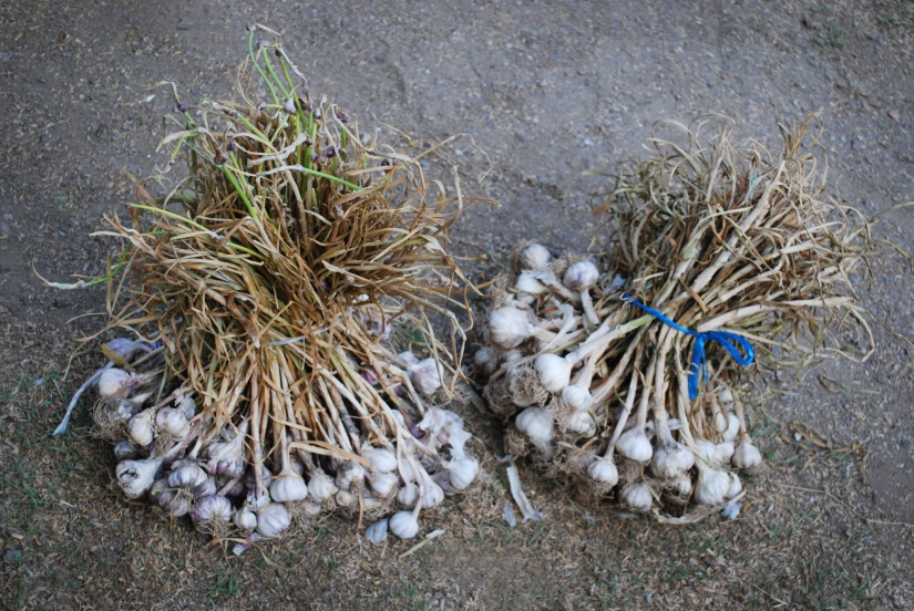 Freshly picked garlic from local growers in San Sebastián Abasolo.