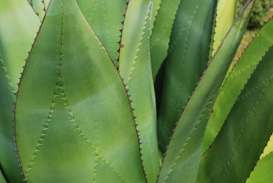 Close up shot of a maguey plant at the pinnacle of on of our stops.