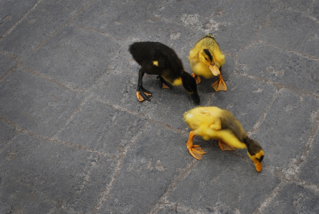Baby ducks are an adorable distraction.