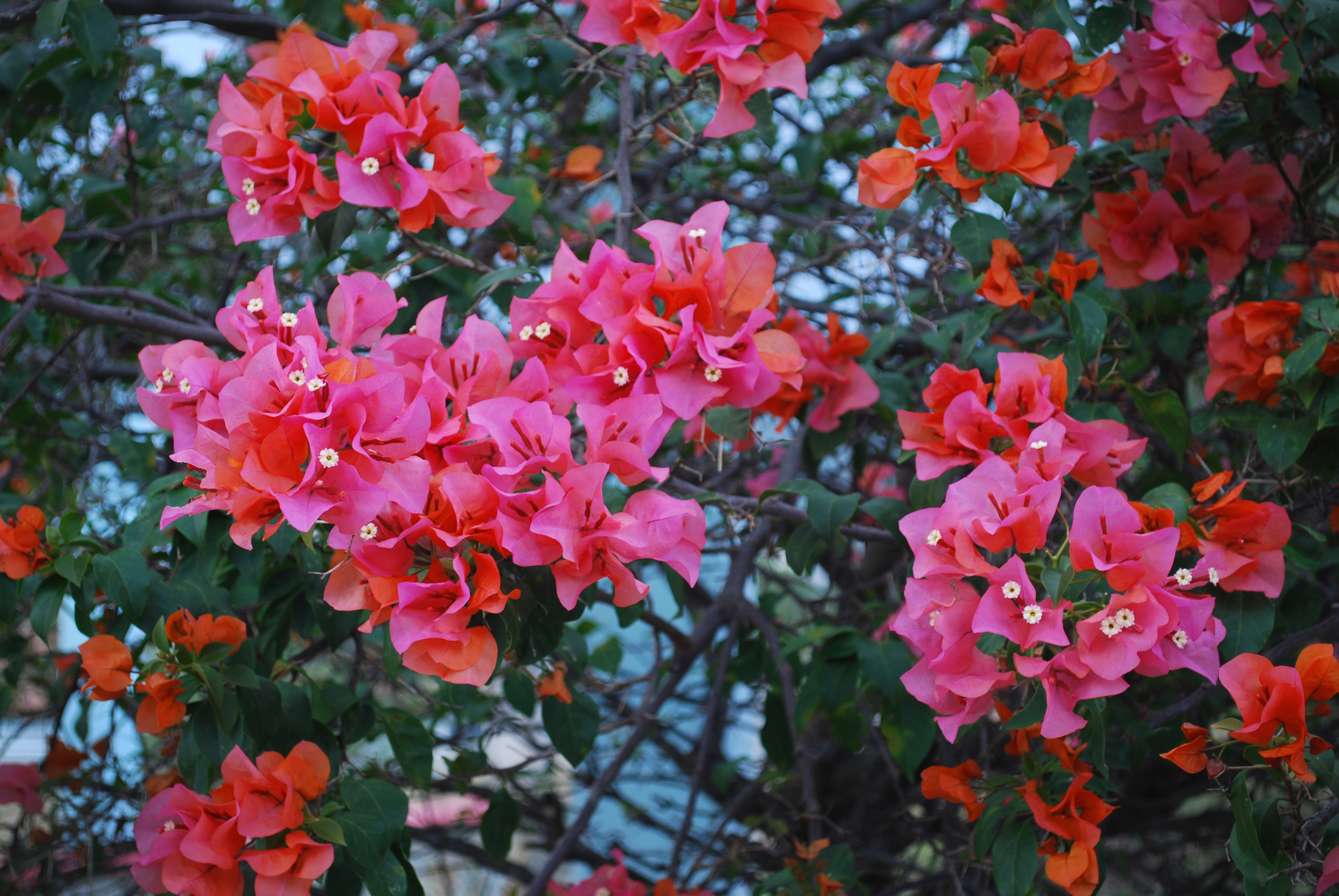 An example of the vibrant blooms that line the streets of the town.